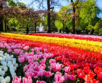 Keukenhof Gardens tulips in spring