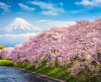 japan cherry blossoms mt fuji