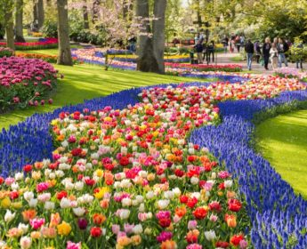 Tulips in bloom at Keukenhof Gardens