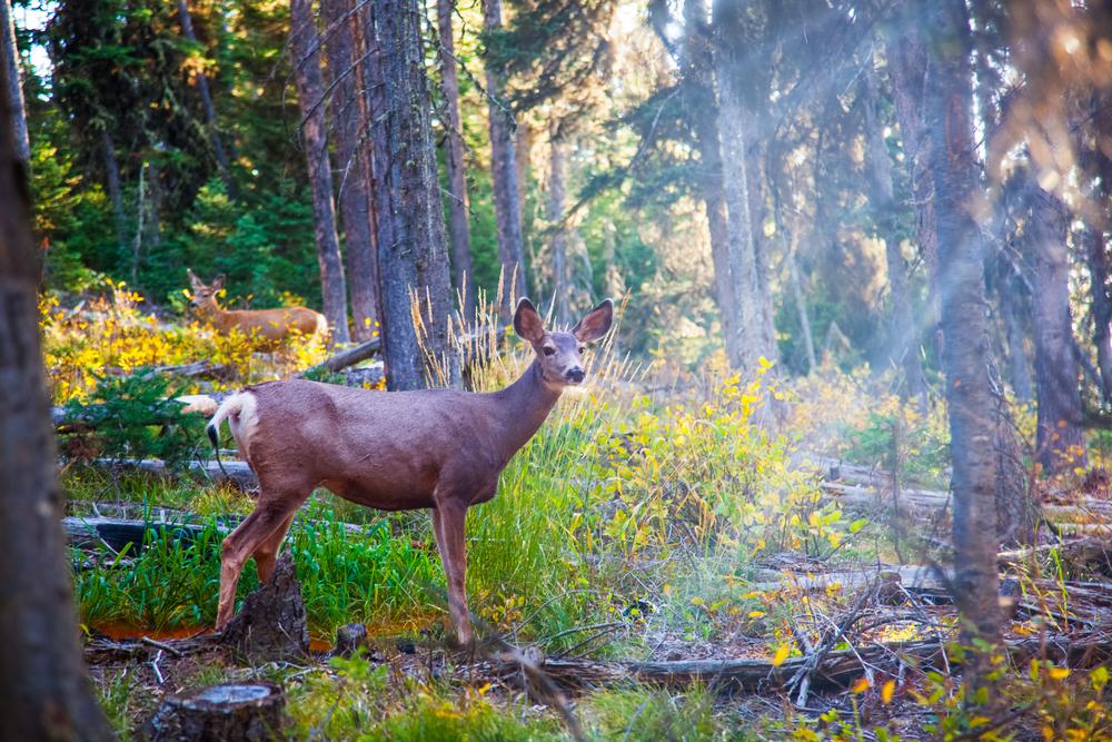 Yellowstone Tour - Deer