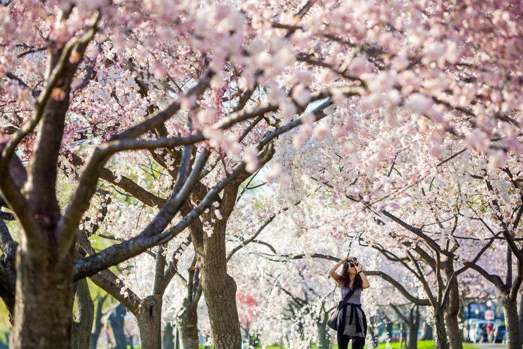 DC Cherry Blossoms Girl Camera